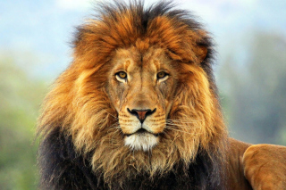 Free Lion Big Cat Picture for 1366x768