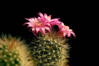 Flowering Cactus Background for Android, iPhone and iPad