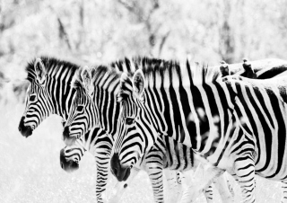 Zebras Background for Android, iPhone and iPad