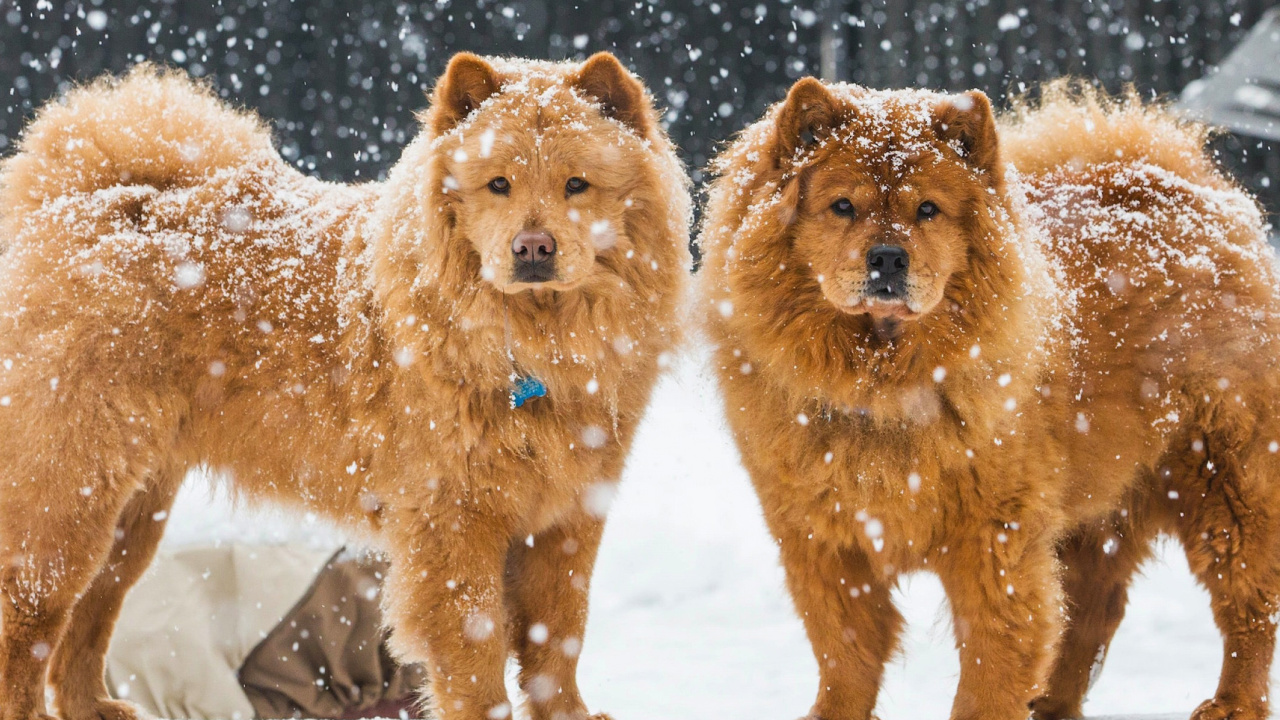Chow Chow Dogs screenshot #1 1280x720