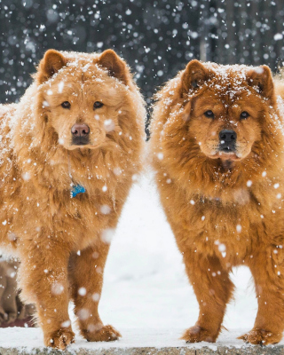Chow Chow Dogs Wallpaper for Nokia C1-01