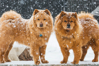 Chow Chow Dogs Background for Desktop 1280x720 HDTV