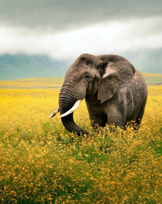 Wild Elephant On Yellow Field In Tanzania Wallpaper for Nokia X1-01