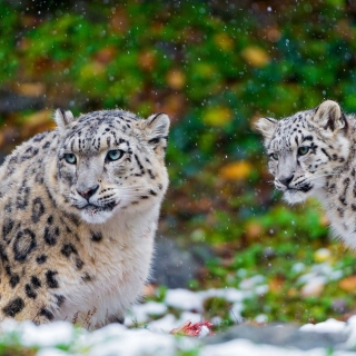 Snow Leopard Family Picture for iPad
