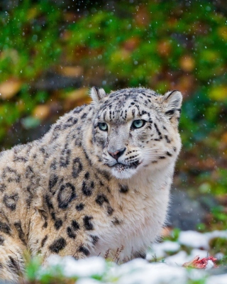 Snow Leopard Family Wallpaper for Nokia C1-01