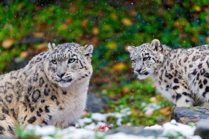 Snow Leopard Family wallpaper