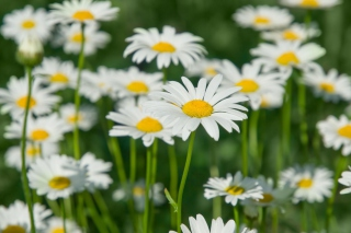 Daisy Field Background for Widescreen Desktop PC 1920x1080 Full HD