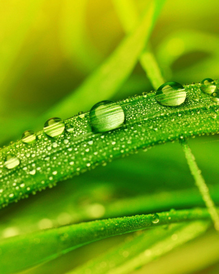 Dew on Grass Background for iPhone 6 Plus
