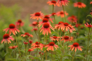 Free Red Daisies Picture for Android, iPhone and iPad