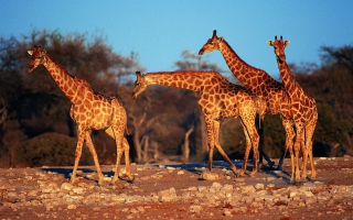 Giraffes sfondi gratuiti per cellulari Android, iPhone, iPad e desktop
