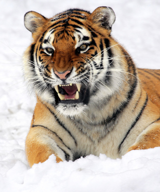 Tiger In The Snow - Fondos de pantalla gratis para 640x960