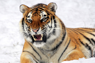 Tiger In The Snow Background for Android, iPhone and iPad
