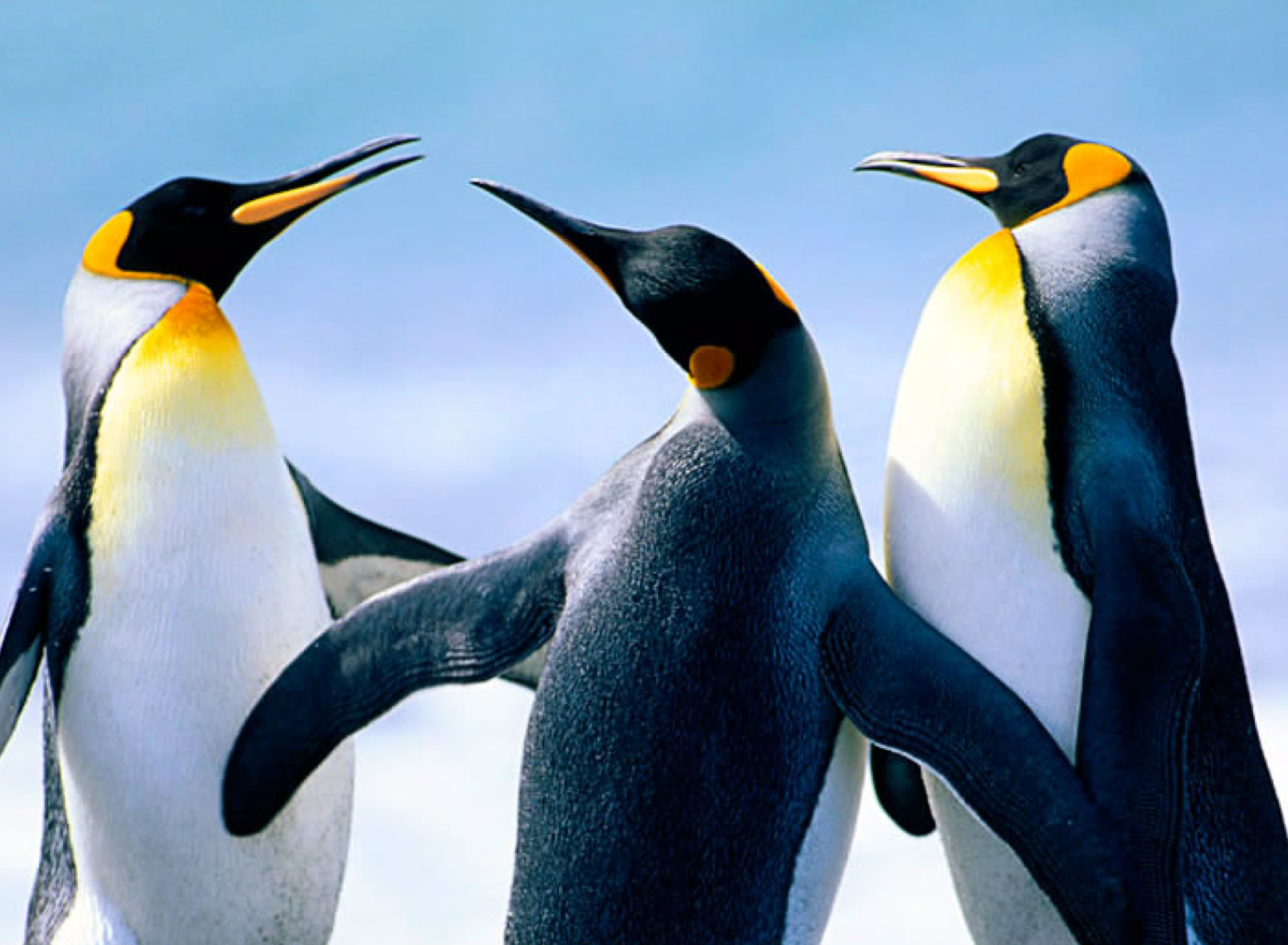 how the penguin s huddle affects their