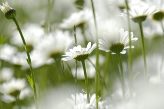 Field Of Daisies Wallpaper for Android, iPhone and iPad