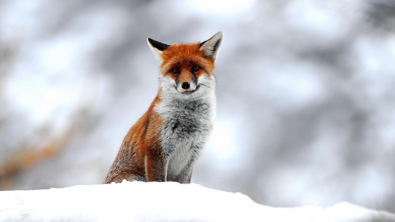 Cute Fox In Winter