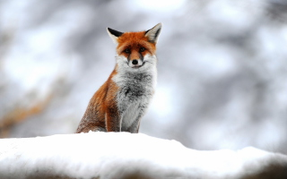 Free Cute Fox In Winter Picture for Android, iPhone and iPad
