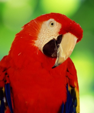 Free Scarlet Macaw Parrot Picture for Nokia Asha 306