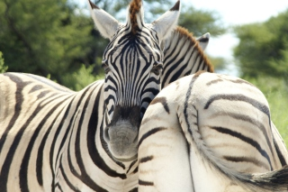 Zebra Picture for Android, iPhone and iPad