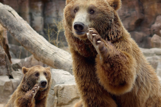 Brown Bears Wallpaper for Android, iPhone and iPad