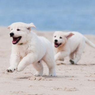 Puppies on Beach sfondi gratuiti per 1024x1024