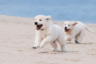 Kostenloses Puppies on Beach Wallpaper für Sony Xperia E1