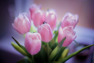 Delicate Pink Tulips Background for 1080x960