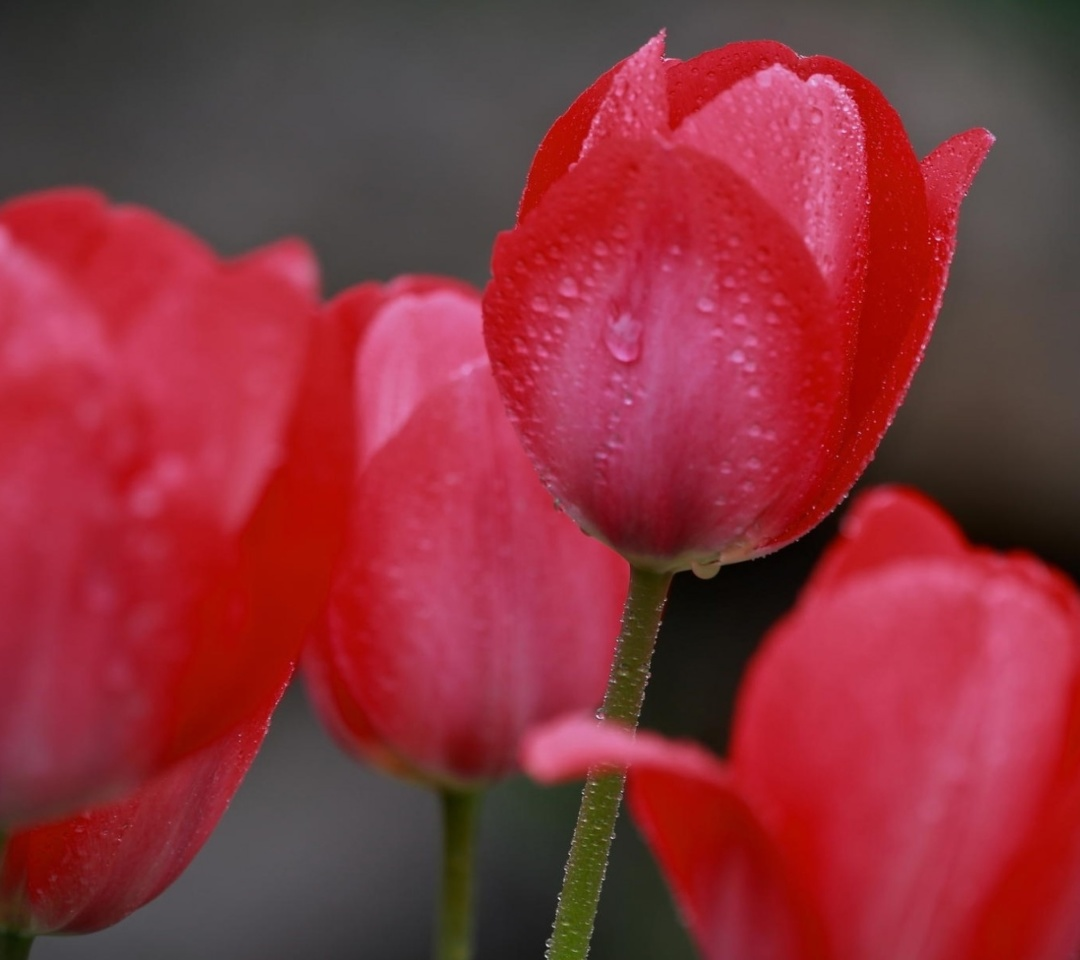 Screenshot №1 pro téma Raindrops on tulip buds 1080x960