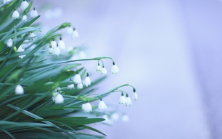Snowdrops Background for Android, iPhone and iPad