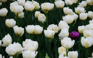 Field Of White Tulips sfondi gratuiti per cellulari Android, iPhone, iPad e desktop