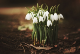 Spring Snowdrops Wallpaper for Android, iPhone and iPad