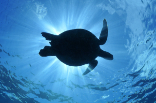 Free Turtle near Maldives Picture for Android, iPhone and iPad