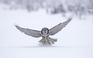 Snow Owl Background for Android, iPhone and iPad