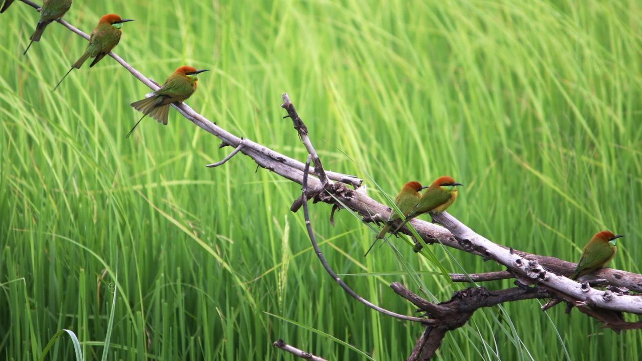 Red Headed Birds