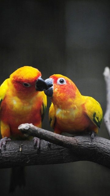 Two Kissing Parrots