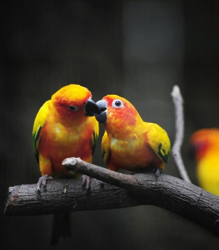 Two Kissing Parrots Background for 640x1136