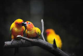 Two Kissing Parrots Wallpaper for Android, iPhone and iPad