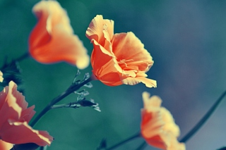 Free Orange Flowers Picture for HTC Desire HD