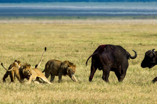 Lions and Buffaloes Background for Android, iPhone and iPad