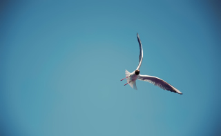 Seagull Flight Wallpaper for Android, iPhone and iPad