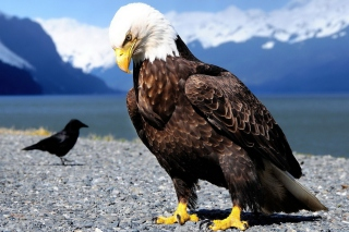 Eagle Picture for Android 480x800