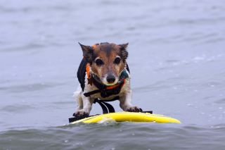 Free Surfing Puppy Picture for Android, iPhone and iPad