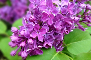 Spring Lilac, blooming Wallpaper for Android, iPhone and iPad