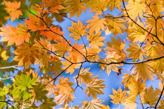 Free Autumn Leaves And Blue Sky Picture for Android, iPhone and iPad