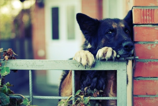 German Shepherd Background for Widescreen Desktop PC 1920x1080 Full HD