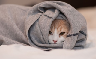 Free Cat Hiding In T-Shirt Picture for Android, iPhone and iPad