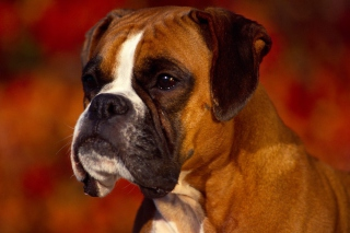 Boxer Dog Background for Android, iPhone and iPad