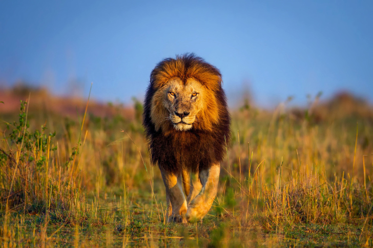 Kenya Animals, Lion wallpaper