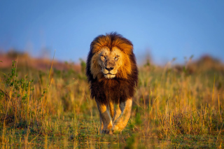Free Kenya Animals, Lion Picture for Samsung Galaxy S5
