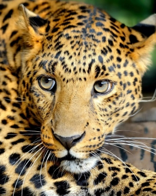 Leopard Picture for Nokia C1-01