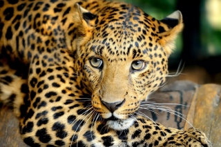 Leopard Picture for Android, iPhone and iPad